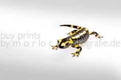 morlock_salamander